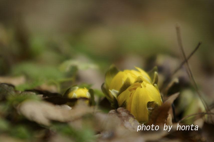 蕾の福寿草